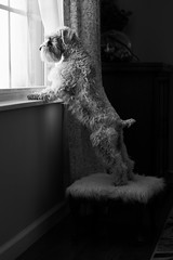 Guard Dog - Low Key (Cheryl3001) Tags: guard dog window stool foot stretch canon 5d mark iii nikcollection black white low key schnauzer pup
