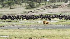 Truce! (tmeallen) Tags: lioness pantheraleo relaxed wellfed wildebeest connochaetestaurinus grazing drinking truce greatmigration southernserengeti rainyseason predator prey hunter hunted lakendutu tanzania eastafrica