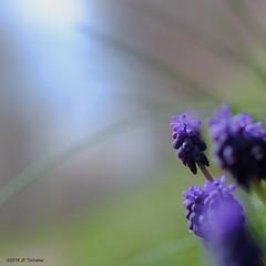 Douceur et lumière (jpto_55) Tags: muscari bleu fleur bokeh proxi xe1 fuji fujifilm omlens om85mmf2 hautegaronne france
