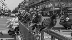 Commérages. (Canad Adry) Tags: paris république sigma dn art 19mm f28 sony alpha a6000 e mount af party lens noir et blanc black white pigeon bird oiseau line street perspective city ville rue sale dirt third