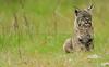 Livermore_SGP_032518_066 (kwongphotography) Tags: livermore ca calif wildlife wildlifephotography nature naturephotography nikonnofilter nikonlovers nikonusa bobcat cat feline unitedstates
