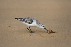 Beachcomber (ossie.g) Tags: sanderling wader shorebird beach sand bill flat calidris alba black legs pull white shore coast canary island fuerteventura beachcomber