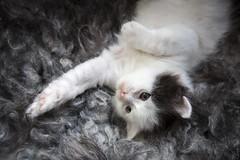 20170908_4975c (Fantasyfan.) Tags: kuunkissan kitten turkish van turkishvan fantasyfanin devasa dost