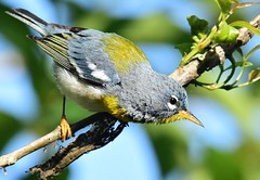 Mr Parula (dina j) Tags: floridawildlife floridabird florida wildlife bird songbird parula northernparula graybird lettucelakepark tampa