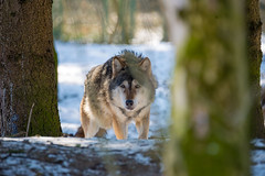 Yes we met again, human (Andriy Golovnya (redscorp)) Tags: wolf wulf munich münchen hellabrunn zoo bayern bavaria deutschland germany sunny cold day