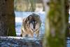 Yes we met again, human (Andriy Golovnya (redscorp)) Tags: wolf wulf munich münchen hellabrunn zoo bayern bavaria deutschland germany sunny cold day