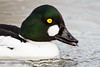 Got my Goldeneye on you (daveashaw) Tags: goldeneye duck waterfowl water birds portrait wildlife nature slimbridge