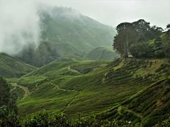 tea plantation (2) (SM Tham) Tags: asia southeastasia malaysia pahang cameronhighlands sungaipalas boh tea estate plantation plants trees mountain hills clouds mist landscape green path