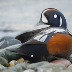 Male Harlequin Duck (Histrionicus histrionicus) thumbnail