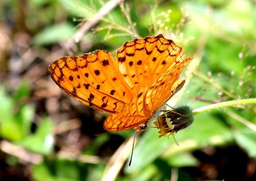 IMG_1789/Thailand/Koh Samui Island/Phalanta Phalantha Phalantha/male/Common Léopard/