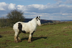 Cob horse (Blue Sky Pix) Tags: cobhorse strong hairy bigfeet winster derbyshire peak district national park england pentax views countryside spring happy