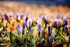 Spring has arrived...maybe (Neal J.Wilson) Tags: spring seasons flowers color colours nature denmark springtime nikon