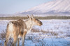 End of winter caribou (frostnip907) Tags: caribou wildlife nature alaska tundra landscape