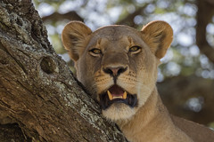 Lion in a tree (Hector16) Tags: pantheraleo trees eastafrica lionesss serengeti nature migration tanzania wildebeestmigration wildlife ndutu lion arusharegion tz ngc gettyimages