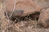 Mongoose (dunderdan77) Tags: mongoose wildlife safari nature south africa kruger national park nikon tamron d500 nose fur