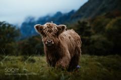 Highland cow in Switzerland (KevinBJensen) Tags: 500px switzerland nature landscape cattle cow baby highland scottish mood fog clouds autumn cute fluffy hair travel portrait animal