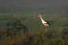 Stork (federicojakimowicz) Tags: birdsofsouthamerica birds islands rivers rosario entreríos pentaxk3ii pentaxfa400mmedif