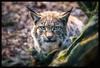 lynx (P.Höcherl) Tags: 2018 nikon d5300 tamron lynx animal tier luchs bayerischerwald bavarianforest bavaria bayern germany deutschland tamronaf16300mmf3563diiivcpzdb016n