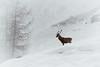 Majestic Deer - Habachtal, Austria (Sebastian Bayer) Tags: beaobachten schnee drausen wild winter wildnis majestätisch wildtierfütterung hirsch tier habachtal österreich weis wildtier