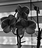 A view (risaclics) Tags: black white make me smile room with view 50mm18macro 7dw april2018 nikond610 flora orchid window blackandwhite makemesmile roomwithaview smileonsaturday