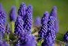 Blue Haven! (ineedathis, Everyday I get up, it's a great day!) Tags: grapehyacinths muskari blue purple flowerbed white green flower spring nature garden perennial plant nikond750 bokeh