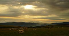 Breakfast on Honeycombe Hill (EmPhoto.) Tags: morning sheep lambs exmoor uk nationalpark sonya7rm2 sonyzeiss2470mm emmiejgee photographyhikingholiday southdevon cornwall mistyvalley beautiful adventure reo