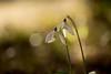 Verso la fine (Raffaella T.) Tags: bokeh light sun sunlight sunset flower wood grass gress nature spring march snowdrop