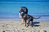 20180408 MARKGRAFENHEIDE (26).jpg (Marco Förster) Tags: dobermann hunde natur markgrafenheide ostsee strand frühling