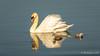 Mute Swan and Cygnets (Bob Gunderson) Tags: birds california cygnusolor lasgallinas marincounty muteswan northbay northerncalifornia swans