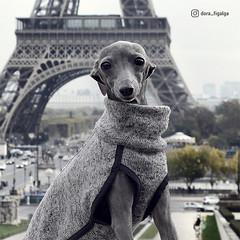 Paris, je t'aime ♡ (@dora_figalga) Tags: paris eiffeltower trocadero france ohlala parisjetaime lavieenrose jardin dogmodel greydog iggy sighthound dogs pet doglover dogsofinstagram instagram ootd cute pup doogler dorafigalga