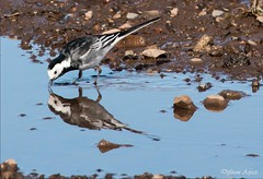 Pied Wagtail (Different Aspects) Tags: 7dwf mondays anythinggoes piedwagtail bird