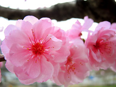 Peach flowers (MelindaChan ^..^) Tags: chanmelmel mel melinda melindachan skorea travel spring