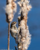 9Q6A8528 (2) (Alinbidford) Tags: alancurtis alinbidford brandonmarsh nature reedbunting wildbirds wildlife