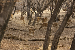 Spotted Deer grazing (Mike Legend) Tags: india rajasthan ranthambore nationalpark spotted deer axis