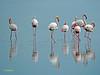 Flamenco común (Phoenicopterus roseus) (5) (eb3alfmiguel) Tags: aves zancudas phoenicopteriformes phoenicopteridae agua flamenco común phoenicopterus
