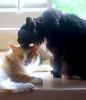 Batman is an equal-opportunity groomer (rootcrop54) Tags: jimmy orange ginger tabby male batman tuxedo multiple grooming groom kitchen counter window neko macska kedi 猫 kočka kissa γάτα köttur kucing gatto 고양이 kaķis katė katt katze katzen kot кошка mačka gatos maček kitteh chat ネコ
