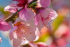 Blossoms  And Bokeh ... (~ Cindy~) Tags: cherryblossoms smileonsaturday springflowers rockwood tennessee 2018