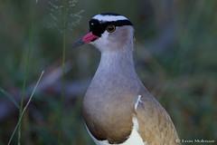 Crowned Lapwing (leendert3) Tags: leonmolenaar southafrica krugernationalpark wildlife nature birds crownedlapwing ngc coth5 npc
