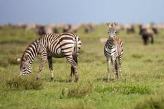 I'm new here - who are you? (Ring a Ding Ding) Tags: africa burchellszebra equusquaggaburchellii ndutu nomad serengeti tanzania baby bokeh mammal motherandbaby nature safari stripes wildlife zebra shinyangaregion