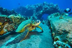 turtle3Mar28-18 (divindk) Tags: cheloniamydas hawaii hawaiianislands honu malaramp maui underwater diverdoug endangeredspecies greenseaturtle marine ocean reef sea seaturtle turtle underwaterphotography