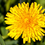 Single dandelion in front of green grass thumbnail