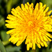 Single dandelion in front of green grass