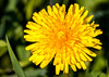Single dandelion in front of green grass (adp_cz) Tags: e0001 agriculture backgrounds bloom blooming blossom botanical botany bright closeup color colorful dandelion day detail ecology environment field flora floral flower fresh freshness garden gardening grass grow herb horizontal lawn leaf meadow natural outdoor park pasture petal petals plant plants pollen pretty rural season seasonal single spring summer vibrant weed yellow