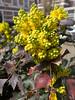 Bloeiende hulst (Jeroen Hillenga) Tags: hulst bloemen flowers lente voorjaar frühling printemps spring deventer