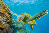 turtle1Mar28-18 (divindk) Tags: cheloniamydas hawaii hawaiianislands honokeana honu maui napili napilipointresort underwater diverdoug endangeredspecies greenseaturtle marine ocean reef sea seaturtle turtle underwaterphotography