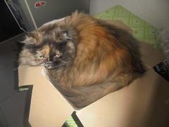 afsaneh (again) in da box (en-ri) Tags: cleopatra afsaneh gatta cat miao sony sonysty box scatola table tavolo verde marrone