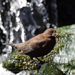 Brown Dipper (KevinBJensen) Tags: moss icicle frozen frost snow stream winter cold temperature plitvice lakes national park waterfall ice lichen brown dipper