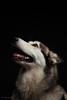 Diamond (lesandsunnie) Tags: diamond husky malamute wolf doggie portrait einstein640s paulcbuff5dmkiiblueeyesbrowneyescanondiamonddoggieeinstein640shuskymalamutepaulcbuffportraitstudiotamon2470f28wolf