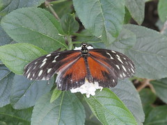 P4190145 (Steve Guess) Tags: horniman museum butterfly forest hill london england gb uk