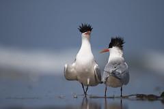 Gus and Gladys are back ! (Sandrine Biziaux-Scherson) Tags: elegant tern bird biziaux nature wildlife wild ocean sandrine scherson sea huntington beach